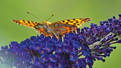 kleiner Perlmutterfalter (3) (blacky_hs) Tags: kleiner perlmutterfalter schmetterling butterfly edelfalter blume flieder flower