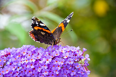 Red Admiral Butterfly (Claire Louise Beyga) Tags: buddleia red admiral purple orange green macro bokeh out doors bigbutterflycount