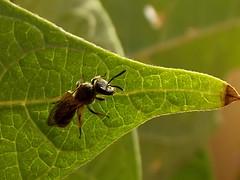 Bee (luisjromero) Tags: leaf wasp bean vulgaris phaseolus