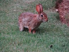 bunny (nikkivercetti) Tags: rabbit bunny q5 vsco