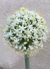 Onion flower (pictumad) Tags: white plant flower nature flor onion cebolla huerta onionflower flordecebolla