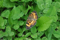 Landed (Studio 9265) Tags: park orange green nature up grass turkey butterfly nikon close outdoor kentucky ky fork run landing micro louisville clover floyds parklands 2016 d5000
