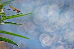 Rubyspot (bobc4) Tags: damselfly insect rubyspot creek mineralfork bokeh ozarks ozark missouri