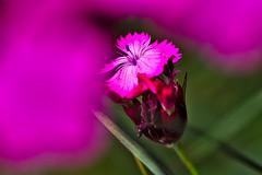 Pink (diarnst) Tags: pink rosa blume flower makro macro outdoor panasonic gx8 freihand sigma 60mm28