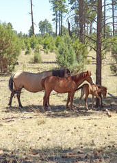 I58C9785-cropped (Wild Arizona Photography) Tags: trees horses nature forest wildhorses