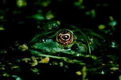 Frog eye (na_photographs) Tags: eye frog frosch auge geheimnisvoll