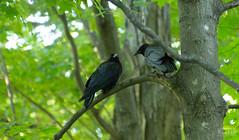DSC_7672 (Keztik) Tags: two canada black tree cemetery reflex nikon noir quebec corneille sherbrooke deux crow dslr arbre cimetiere elmwood gossip d3200