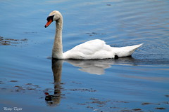 mirror mirror (alpenfrankie) Tags: canon eos 1100d animals wildlife nature bird beautiful swan pottericcarr ywt water wild reflection