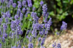 IMG_4900 (ElsSchepers) Tags: limburglavendel lavendelhoeve stokrooie kuringen hasselt natuur vlinders