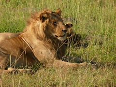 Lions - Mating Couple ! (Mara 1) Tags: africa kenya masai mara wildlife lions wild green grass