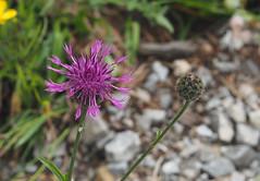 Wildflower (Grazerin/Dorli B.) Tags: reutte breitenwang outdoors elements wildflower flower bokeh