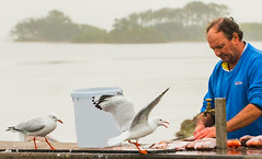 That's-my-favourite_DSC5601 (Mel Gray) Tags: swansea lakemacquarie seagull fisherman snapper birds lake fish water