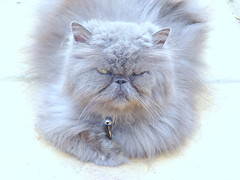Our Boy Bloss.. (carlene byland) Tags: cat persian grey blue fur blossom handsome boy bell ears eyes whiskers love