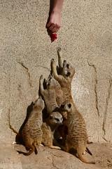 suricata suricatta (Joachim S. Mller) Tags: erdmnnchen suricatasuricatta suricata suricate meerkat meerkats sugetier mammal tier animal zoo junglepark parquelasguilas chayofa arona teneriffa tenerife kanaren kanarischeinsel kanarischeinseln canaryisland canaryislands islascanarias canarias spanien spain espania espaa