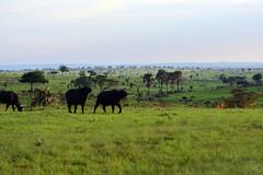 Buffaloes in he savana (supersky77) Tags: murchison murchisonfalls savana savannah grass erba verde green bufalo synceruscaffer bufaloafricano