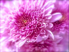 Pink Mum (Pufalump) Tags: pink chrysanthemum morifolium flower petals garden nature lilac purple pinky macro bunch bouquet light pov