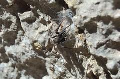 Araa (TrustyOldGear) Tags: cuenca ciudadencantada naturaleza araa tarntula bicho insecto artrpodo