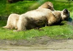enjoy the day (BrigitteE1) Tags: enjoytheday felix polarbear aquazoofriesland netherlands ursusmaritimus