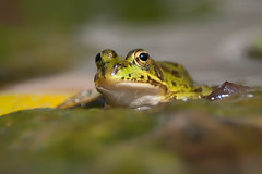Sparkle (Luis-Gaspar) Tags: animal amphibian anfibio frog ra raverde racomum perezsfrog ranaperezi pelophylaxperezi portugal oeiras nikon d60 55300 f8 1800 iso400