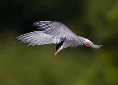 Common Tern (mandokid1) Tags: canon canon500f4 idmk1v terns birds