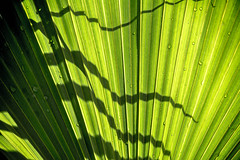 palm shadows (-gregg-) Tags: shadows water drops palm tree lines different green light bahamas