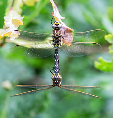 Mating Common Hawkers (davep90) Tags: davep90 common hawkers mating fuji 55200 dragonfly
