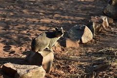 Mongoose, Ruaha National Park (2) (Prof. Mortel) Tags: tanzania ruahanationalpark mongoose