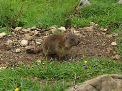 Young alpine marmot (aniko e) Tags: mammals europe germany mountains alps murmeltier marmot sciuridae xerinae squirrels alpinemarmot mormota hiking outdoors wild family maroldschneid bavaria bayern ruins burrows marmotamarmota