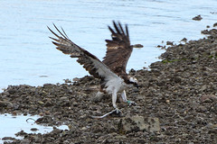 BF Again. (stonefaction) Tags: birds nature wildlife scotland osprey river south esk montrose balgavies loch forfar green bf