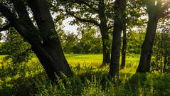...im Abendlicht (olgi49) Tags: bume trees abendlicht gloaming eveninglight teufelsmoor