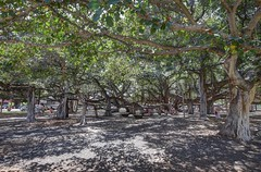 Under a big Tree (AdjaFong) Tags: baum hawaii lahaina maui