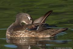 High park - Female Wood Duck Preening (digithief) Tags: femalewoodduck birds d750 nikon grenadierpond highpark ontario toronto canada ca