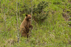 Standing tall (ChicagoBob46) Tags: cinnamonblackbear cinnamon blackbear bear cub yearling yellowstone yellowstonenationalpark nature wildlife