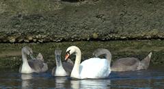 Mute Swan with cygnets (Robert & Pamela) Tags: muteswan birds young cygnets scotland