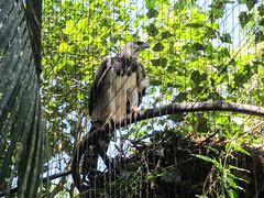 """Le Parc des Oiseaux d'Iguaçu: un aigle royal mâle <a style=""""margin-left:10px; font-size:0.8em;"""" href=""""http://www.flickr.com/photos/127723101@N04/29016574474/"""" target=""""_blank"""">@flickr</a>"""