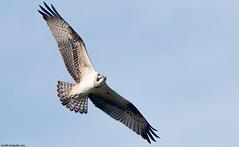 Sääksi (mattisj) Tags: accipitriformes aves birds eläimet fåglar linnut osprey pandionhaliaetus pandionidae päiväpetolinnut sääkset sääksi fiskgjuse