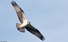 Sksi (mattisj) Tags: accipitriformes aves birds elimet fglar linnut osprey pandionhaliaetus pandionidae pivpetolinnut skset sksi fiskgjuse