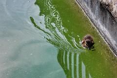 Papera   Duck (annaandolfatto) Tags: animal animale duck papera uccello lago italia italy firenze florence nature boboli lake giardino garden