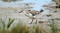 Ruff (NickWakeling) Tags: ruff waders wildlife birds norfolk nature northnorfolk norfolkwildlifetrust canon60d sigma150600mmf563dgoshsmcontemporary