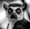 Look into the eyes, not around the eyes... (London Zoo September 2016 #1) (Lazlo Woodbine) Tags: londonzoo london lemur ape monkey primate zoo nature natural pentax k7 1855mm animal stare thestare cute blackwhite bw mono lightroom september 2016