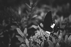 (hokkeiv) Tags: nikon d810 fx nikkor 50mm f14g butterfly blackandwhite