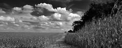 forging a new path.... (BillsExplorations) Tags: field harvest cornfield path pathway clouds sky blackandwhite monochrome midwest fall autumn combine