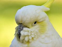 Sulfur Crested Cockatoo (dennisgg2002) Tags: cockatoo bird cleveland zoo ohio oh
