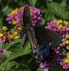 Butterfly_SAF0625-1 (sara97) Tags: butterfly flyinginsect insect missouri nature outdoors photobysaraannefinke pollinator saintlouis urbanpark copyright2016saraannefinke