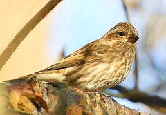 purple finch female at Lake Meyer Park IA 854A7391 (lreis_naturalist) Tags: purple finch female lake meyer park winneshiek county iowa larry reis