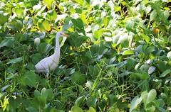 White cattle egret (joybidge (0n vacation)) Tags: trishcanada naturepatternscanada mauihawaii kaanapalibeach