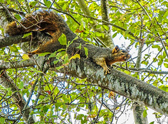 Ready for a rest break--DSC09961--Pacific Grove, CA (Lance & Cromwell back from a Road Trip) Tags: squirrel wildlife pacificgrove montereypeninsula montereycounty california sony sonyalpha a7s 2870mm lens