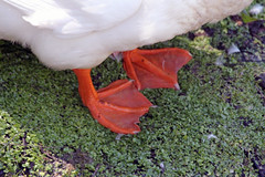 Goose Feet (iansand) Tags: warriewood goose