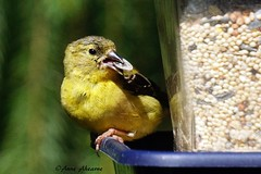 American Goldfinch with Sunflower Seed (--Anne--) Tags: bird birds goldfinch americangoldfinch yellow gold finch cute animals wildlife nature molting