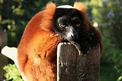 monkey (m.buzzart) Tags: canon monkeys animals artis animal nature closeup monkey sleepy tired